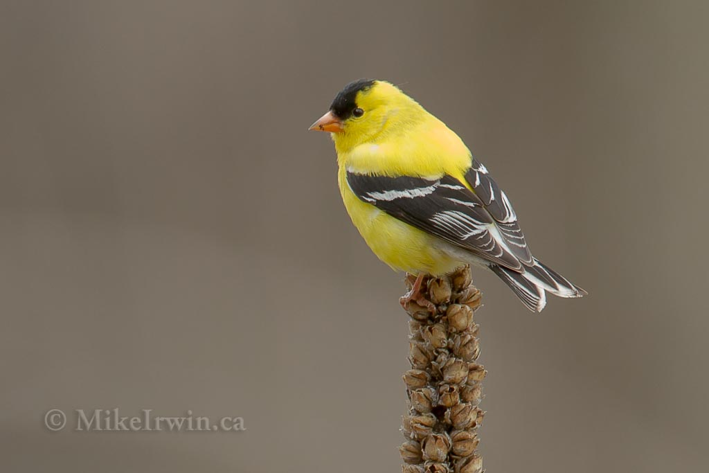 American Goldfinch 05.02.14