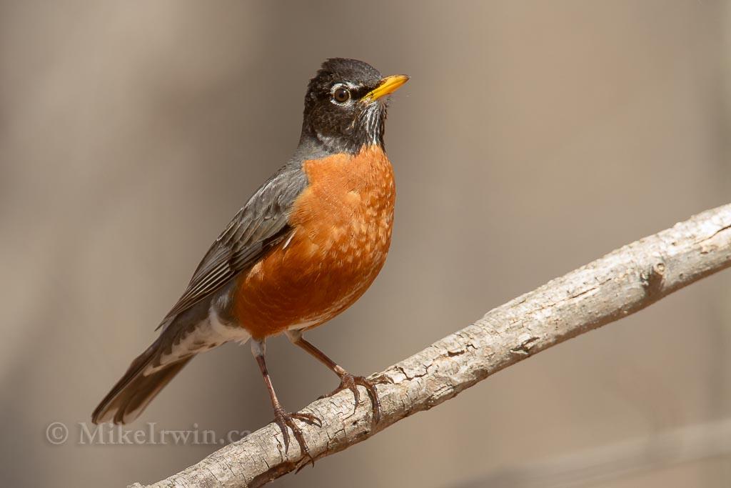 American Robin 4.12.14