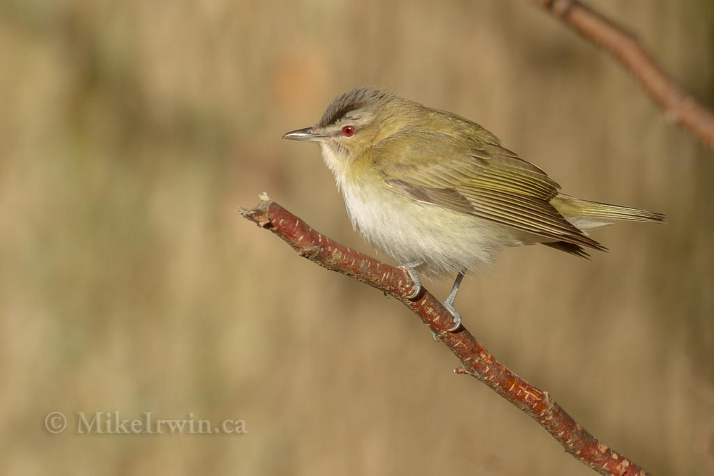 Red-Eyed Vireo 05.16.14