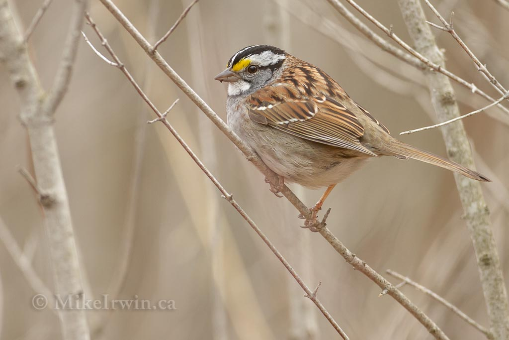 White Throated Sparrow 05.04.14