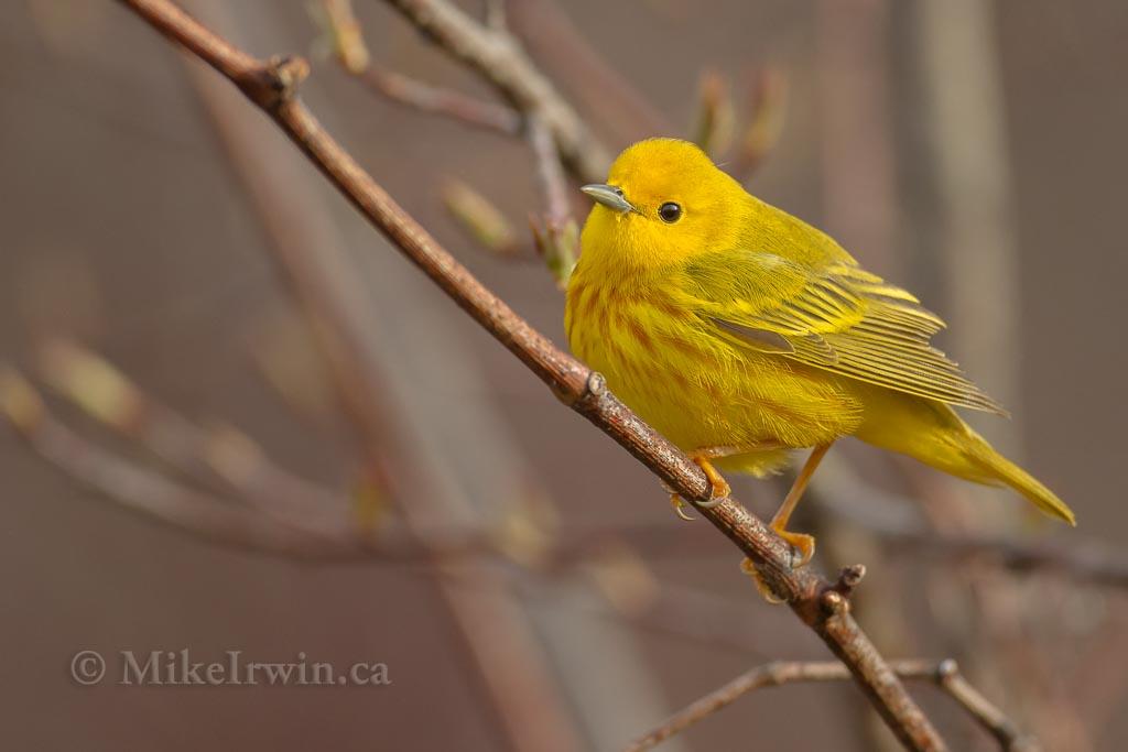 Yellow Warbler 05.10.14