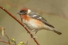 Bay Breasted Warbler 05.16.14
