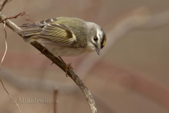 Golden Crowned Kinglet 4.12.14