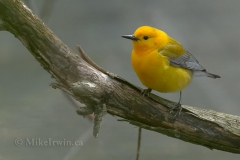 Prothonotary Warbler 05.10.14