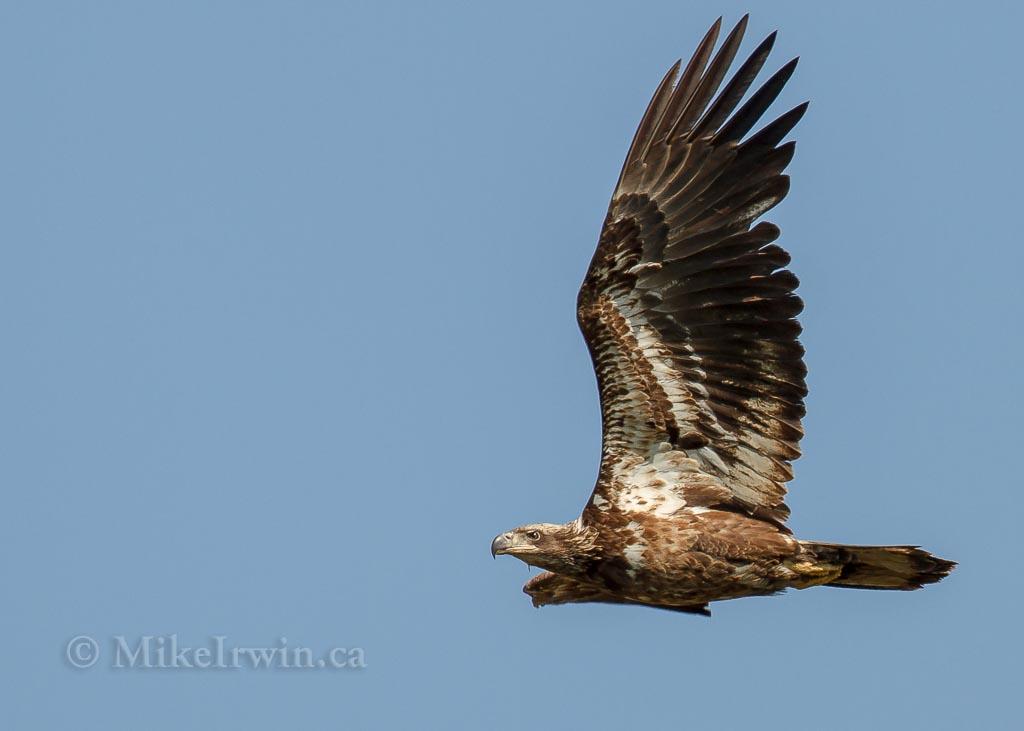 Bald Eagle 021315