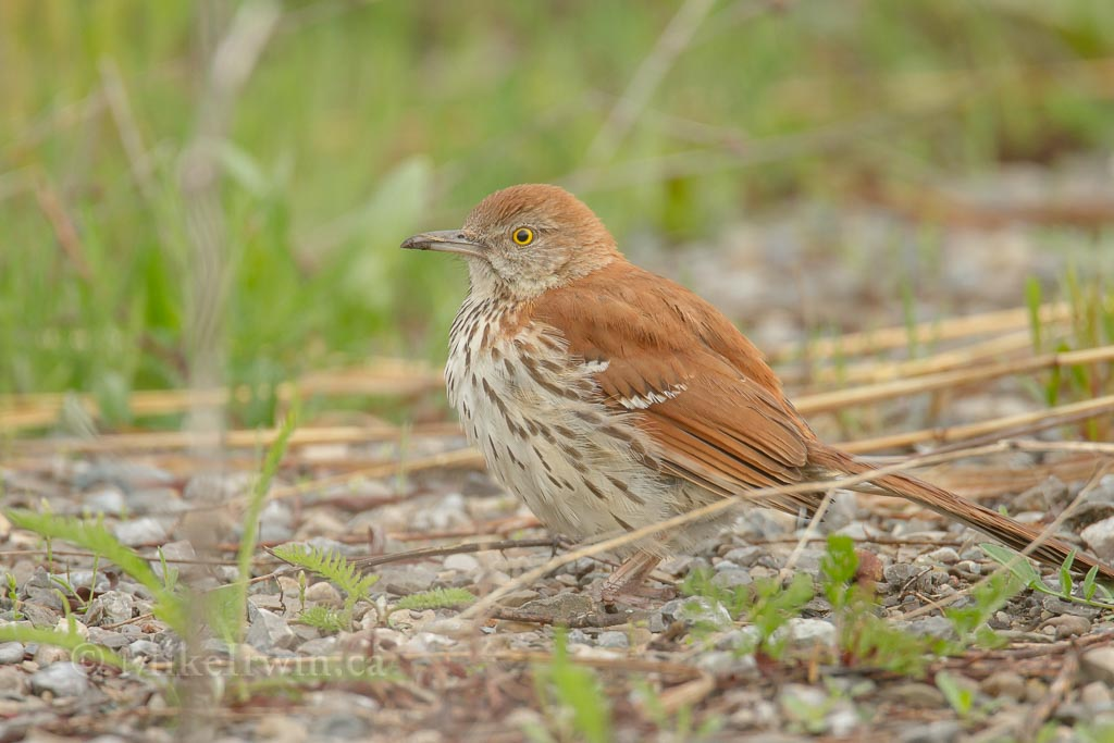 Brown Thrasher 05.17.14