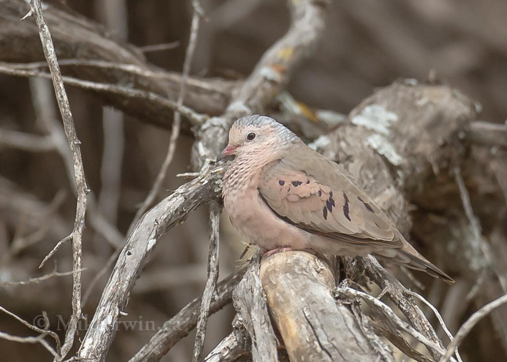 Common_Ground_Dove_03_26_14