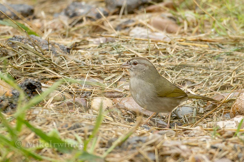Olive Sparrow 020315