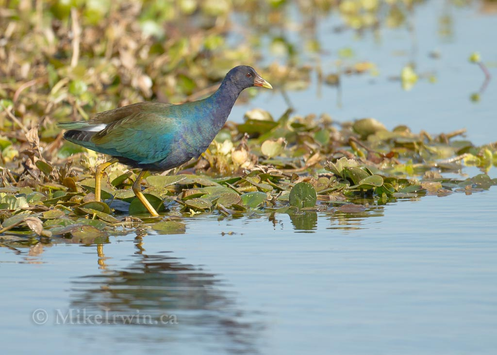Purple Gallinule 021415