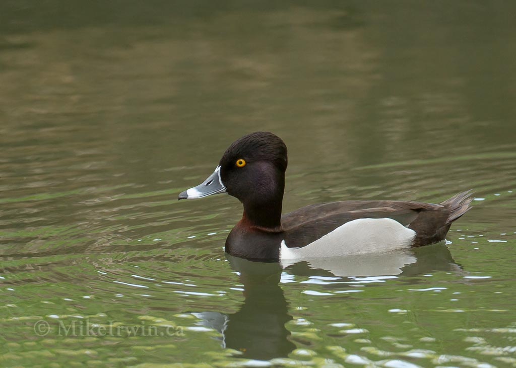 Ring_Necked_Duck__03_27_14