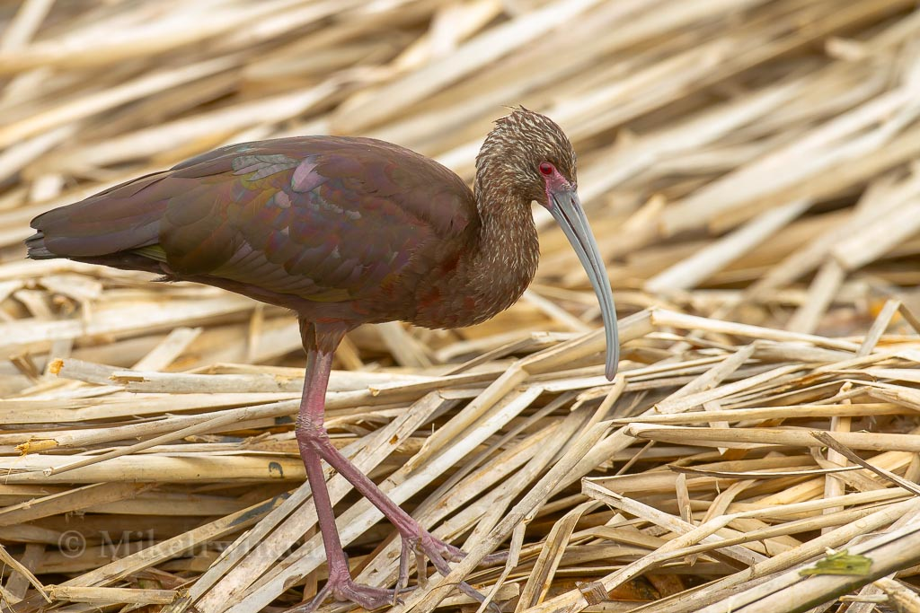 White_Faced_Ibis_03_23_14