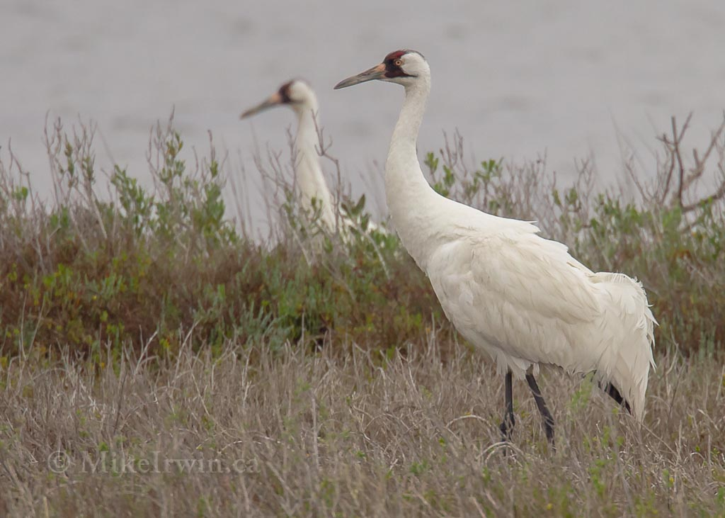 Whooping_Crane_03_24_14