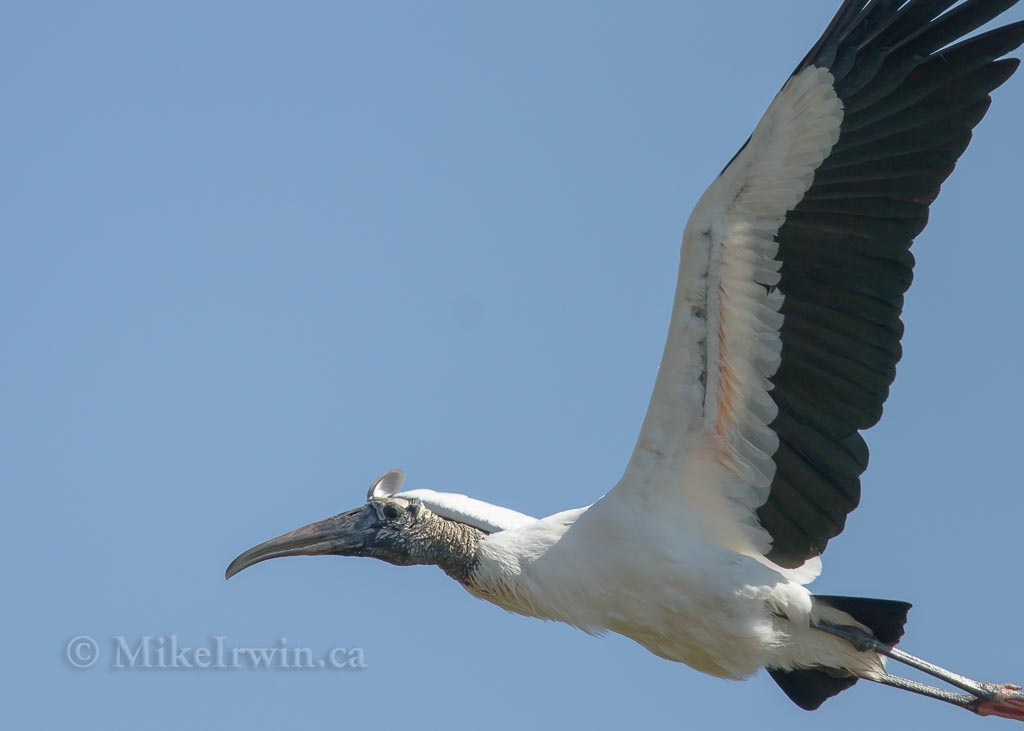 Wood Stork 021415