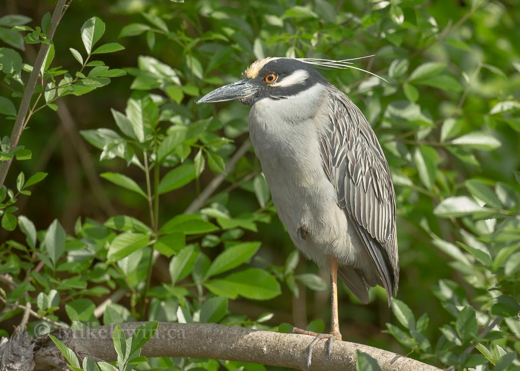 Yellow_Crowned_Night_Heron__03_27_14