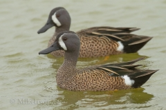Blue_Winged_Teal_03_23_14