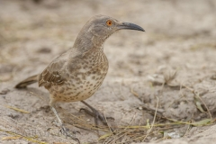 Curved-Billed Thrasher 013015