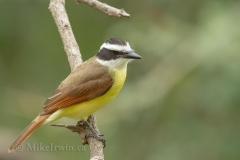 Great Kiskadee 013015