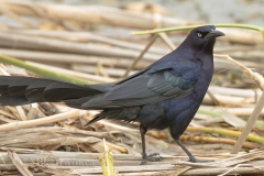 Great_Tailed_Grackle_03_23_14