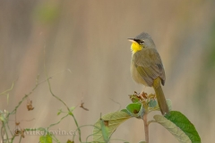 Grey-Crowned Yellowthroat 020115