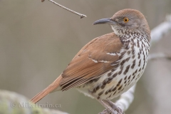 Long-billed Thrasher 013115