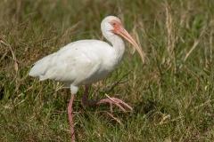 White Ibis 021215