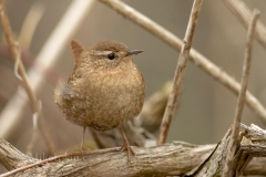 Winter Wren 05.04.14