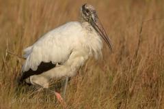Wood Stork 021215